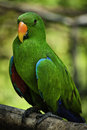 Electus Parrots Royalty Free Stock Photos - 30207988