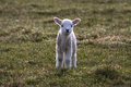 Lambs Royalty Free Stock Images - 30209439