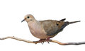 Mourning Dove Rises Royalty Free Stock Photos - 30219408