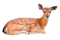 Baby Sika Deer Stock Images - 30220654