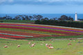 Tulip Fields At Table Cape Stock Photo - 30223530