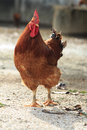 Brown Chicken Standing On Rural Area Royalty Free Stock Image - 30235806