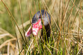 Black Swan Is Eating Grass Royalty Free Stock Photos - 30238018