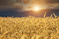 Rye Field At Sunset Stock Images - 30241524