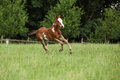 Nice Paint Horse Filly Running On Pasturage Stock Photos - 30271643