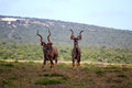 Greater Kudu Males Stock Photography - 30281032