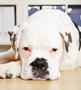 Albino Boxer Dog Looking Sad Stock Image - 30281471