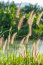 Fountain Grass Stock Image - 30286241