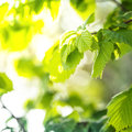 Green Leaves Royalty Free Stock Image - 30354226