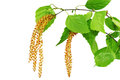 Birch Catkins Isolated On White Background. Stock Photos - 30360043
