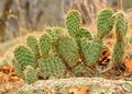 Prickly Pear Cactus Royalty Free Stock Photo - 30368135