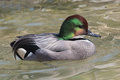 Falcated Duck Royalty Free Stock Images - 30376919