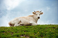White Cow Lying On The Green Hill Royalty Free Stock Photos - 30388288