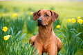 Happy Cute Rhodesian Ridgeback Dog In The Spring Field Stock Photo - 30393940