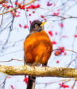 Red Breasted American Robin With Red Berries Stock Photos - 30394533