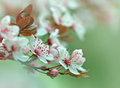 Cherry Blossoms Stock Image - 30429451