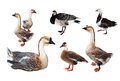 Set Of Few Geese  Over White Stock Image - 30443141