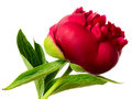 One Red Flower Royalty Free Stock Image - 30470656