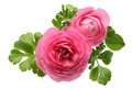 Pink Persian Buttercup Flower Royalty Free Stock Image - 30478376