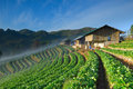 Beautiful Strawberry Farm And Thai Farmer House On Hill Stock Images - 30495984