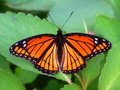 Viceroy Butterfly (Limenitis Archippus) Illinois Stock Images - 30497644