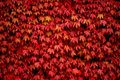 Red Ivy Royalty Free Stock Photos - 3053848