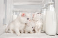 Pussy Cats With Milk Royalty Free Stock Images - 30500459