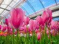 Field Of Pink Tulip In The Greenhouse Stock Photo - 30504670