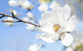 Magnolia Flower Against The Sky Royalty Free Stock Photography - 30537777
