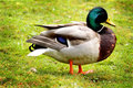 Proud Mallard Royalty Free Stock Photography - 30540167