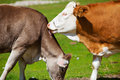 Swiss Cows Royalty Free Stock Photos - 30554258