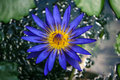 Blue Lotus Blossoms Royalty Free Stock Photography - 30571997