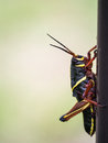 Large Colorful Grasshopper Royalty Free Stock Photos - 30585568