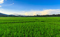 Green Rice Field With Mountains Background Under Blue Sky Royalty Free Stock Image - 30591546