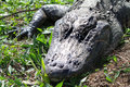 Head Of Alligator Royalty Free Stock Photos - 30599458