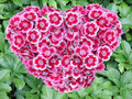 Heart Of Sweet Williams Royalty Free Stock Image - 3063016