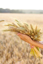 Ripe Ears Wheat In Woman Hands Stock Images - 30608474