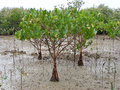 Mangrove Forest Stock Images - 30618704