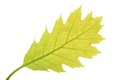 Fresh Spring Oak Leaf Royalty Free Stock Photos - 30622208