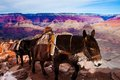 Mules Climbing Up With Goods In Grand Canyon National Park In Arizona, USA Royalty Free Stock Image - 30625246