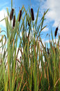 Reeds Royalty Free Stock Images - 30638349
