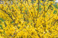 Forsythia Plant Royalty Free Stock Images - 30649339
