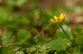 Ranunculus Ficaria, Ficaria Verna Royalty Free Stock Photo - 30652475