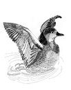 Wild Ducks Illustrantion Sketch Painting Stock Images - 30655944
