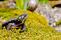 Eastern Painted Turtle Stock Image - 30670521