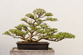 Potted Bonsai Tree Royalty Free Stock Photography - 30670747