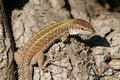 Lizard On A Tree Royalty Free Stock Image - 30686546
