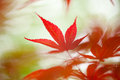Japanese Maple Leaf Stock Image - 30691571