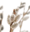 Easter Willow Branches Stock Photography - 30705752