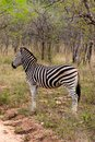 Wild Striped Zebra  In National Kruger Park In South Africa Stock Images - 30742434